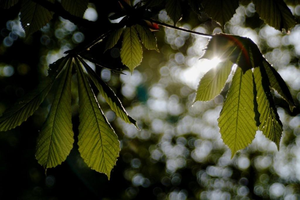 sunny chestnut