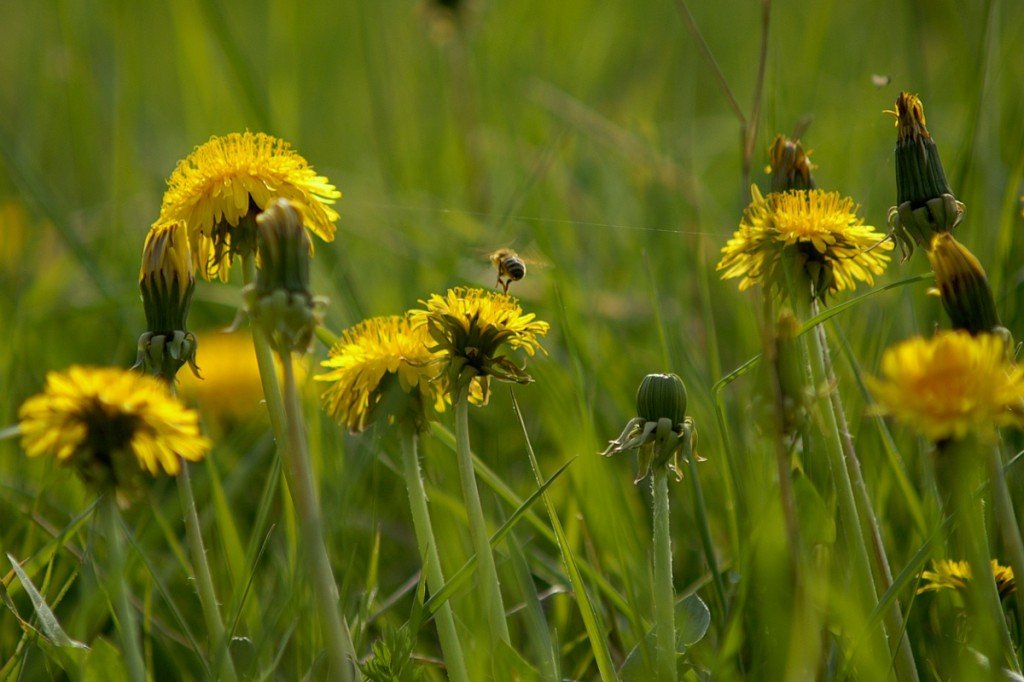 dandelion-bee conversation