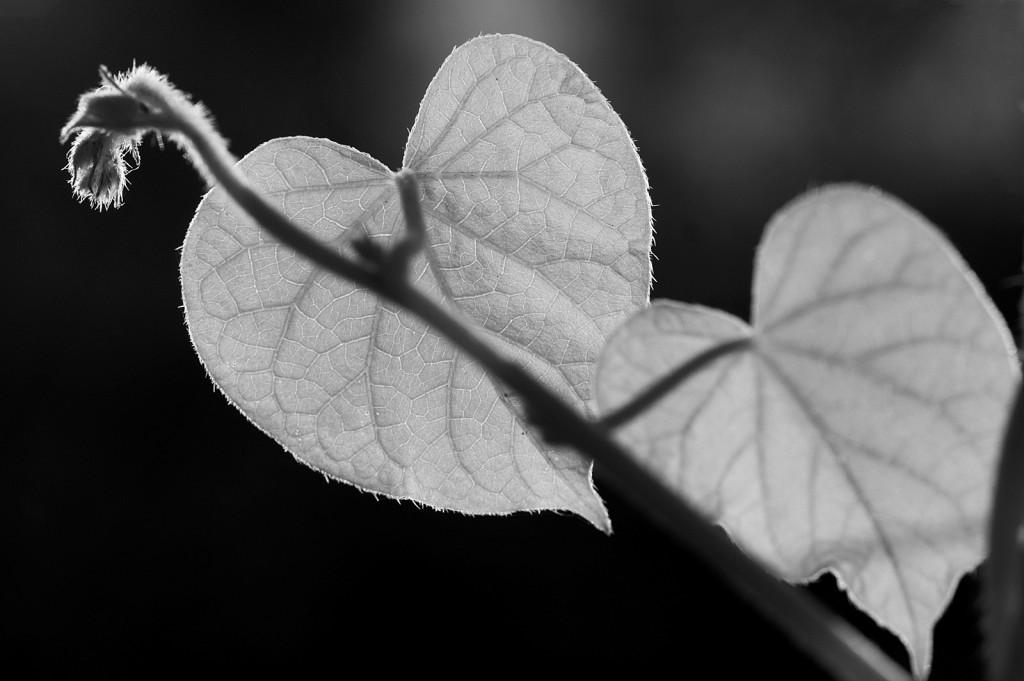 ipomoea hearts