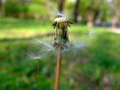 dan-dandelion