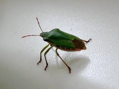 Palomena