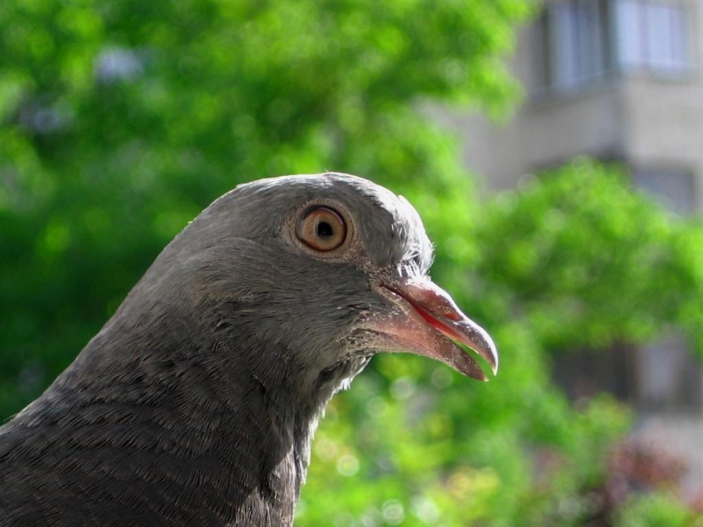 пощенски гълъб в конфузна ситуация :)