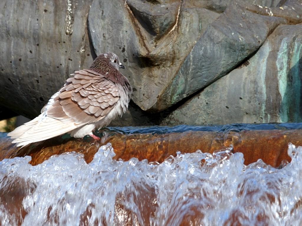 чистотен гълъб
