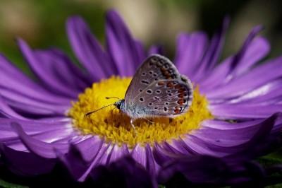 икарова синевка (Polyommatus icarus)