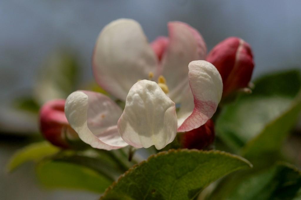 ябълков цвят