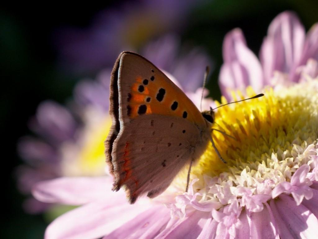 пеперудена идилия