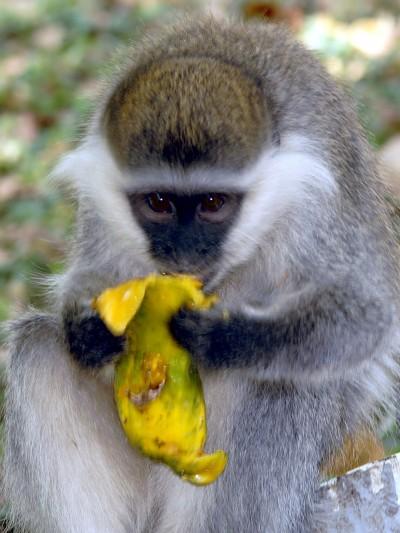 monkey eating papaya