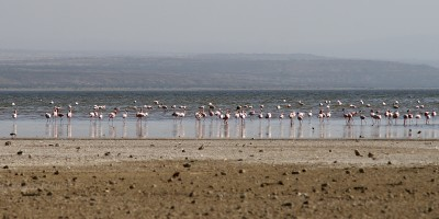 flamingos in Abijata Lake