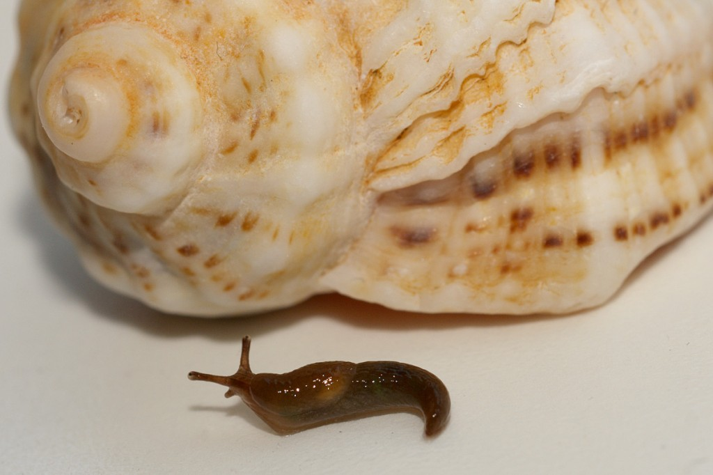 slug almost under the shell