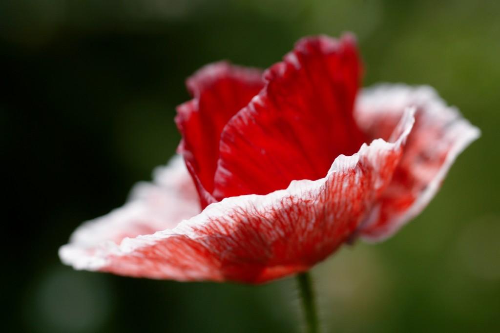 poppy mariposa
