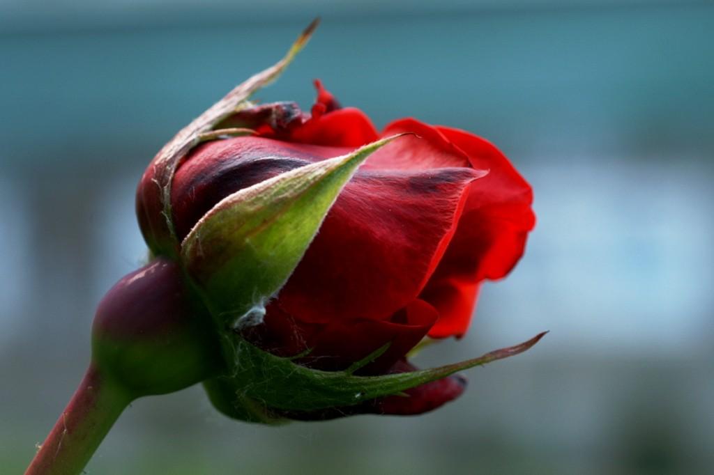 that rose...