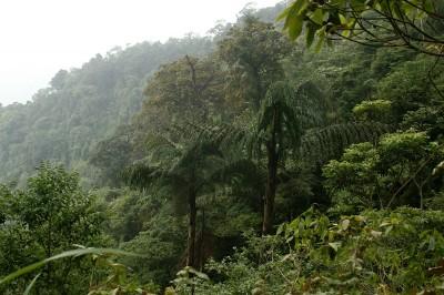 дървовидни папрати