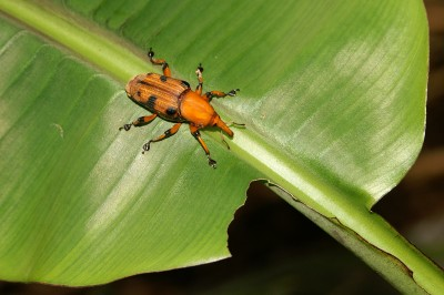 """смукач"" (сем. Curculionidae)"