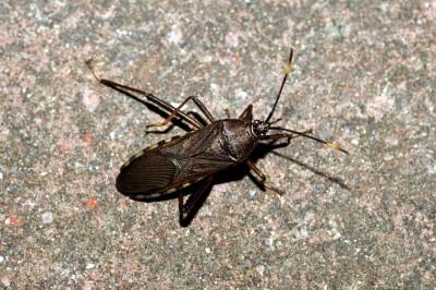 дървеничка (Heteroptera)