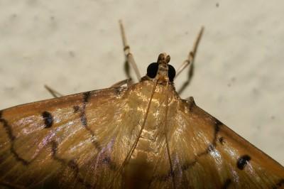 на таз нощна пеперуда не и знам родата